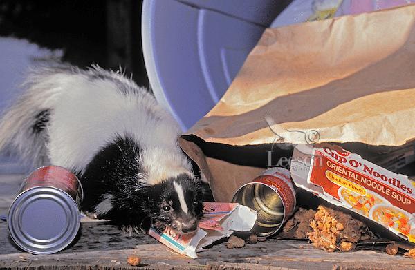 Moufette qui mange dans les poubelles